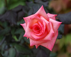 2018 Autumn rose (shinichiro*) Tags: 20181016sdim6074 2018 crazyshin sigmasdquattroh sdqh sigma1770mmf284dcmacrohsm october autumn yokohama 横浜イングリッシュガーデン rose flower macro 46007611181 4342249 201901gettyuploadesp