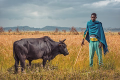 Living On My Own (u c c r o w) Tags: bull cow outdoor landscape portrait portre africa african animal wheat blue outside nature herdsman clouds field ngc moyale ethiopia ethiopian