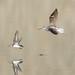 Common Greenshank (Tringa nebularia) & Common Sandpiper (Actitis hypoleucos)