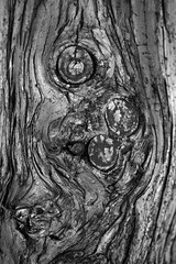 Get knotted (Explore 01/02/19) (Alan McIntosh Photography) Tags: wood grain texture pattern random tree monochrome nature knot pine toowoomba
