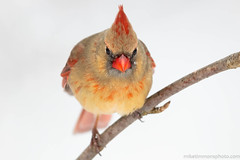 Northern Cardinal (miketimmonsphoto.com) Tags: mike timmons aba indiana bird nature wildlife miketimmons