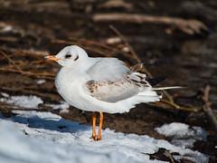 Möwe (lebastian) Tags: vogel bird möwe 100300mmmkii panasonicdmcgx8