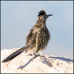 Roadrunner (Ed Sivon) Tags: america canon nature lasvegas wildlife wild western southwest sun desert clarkcounty vegas flickr bird henderson nevada