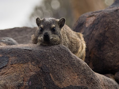 Explored! .................    Dassie or as we more commonly know it a Rock Hyrax (Nanooki) Tags: africa animals dassie namibia procaviacapensis quivertreeforest rockhyrax ©suelambertlrpscpagb keetmanshoop karasregion na inexplore explored 50