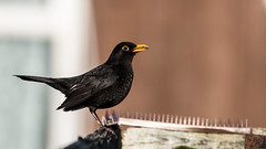 blackbird (JOHN BRACE) Tags: turdus merulaseen blackbird seen back garden