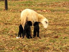 Three Black Lambs (~~Chuck's~~Photos~~) Tags: chucksphotos canonsx60 threeblacklambs winter sheep amish neighbors animals aroundthefarm outdoors kentuckyphotos ourworldinphotosgroup earthwindandfiregroup photosthruyourlensgroup solidarityagainstcancergroup exploringkentucky