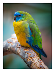 Turquoise Parrot (wwarby) Tags: berlin berlinzoo germany turquoiseparrot abroad animal bird bordered captivity favourites holiday holiday2018berlin indoors parrot vacation wildlife zoo