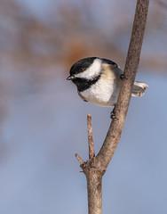 Chickadee (Lynn Tweedie) Tags: wood beak tail canon ngc animal blue 7dmarkii missouri eos sigma150600mmf563dgoshsm bird chickadee sky winter eye feathers tree white