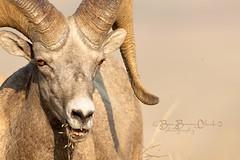 Ram Tough (Beve Brown-Clark) Tags: bighorn bighornsheep ram wildlife nature ©bevebrownclark