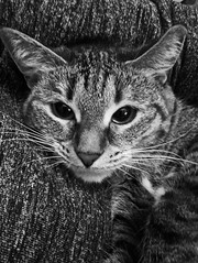 Full of happiness when you're on the hands of a loved one! 😻 (msergeevna) Tags: cat animal blackwhite pet