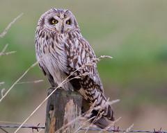 Short-eared Owl (Lutra56) Tags: shorteared owls birds wildlife nature ancholme lincolnshire naturephotography britishbirds asioflammeus shortearedowl