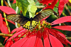 Common Birdwing !! (Lopamudra !) Tags: lopamudra lopamudrabarman lopa butterfly jayanti forest nature birdwing foliage colour color colours colourful westbengal india dooars duars cute pretty beauty beautiful portrait