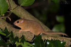 Hazel Dormouse (Ben Locke.) Tags: hazeldormouse dormouse mouse wild wildlife nature devon