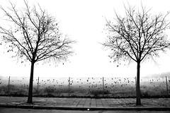 One, two, trees ... (jaume zamorano) Tags: autumn blackandwhite blancoynegro blackwhite blackandwhitephotography blackandwhitephoto bw boira brouillard catalunya d5500 fog foggy lleida monochrome monocromo mist nikon noiretblanc nikonistas niebla street streetphotography streetphoto streetphotoblackandwhite streetphotograph tardor tree urban urbana