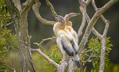 """ugly ducklings"" - young australasian darters (Fat Burns ☮) Tags: australasiandarter anhinganovaehollandiae anhingidae waterbird bird australianbird fauna australianfauna nikond500 sandycamprdwetlands brisbane sigma150600mmf563dgoshsmsports"