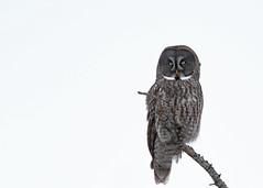 Great Gray Owl...#9 (Guy Lichter Photography - 4.4M views Thank you) Tags: canon 5d3 canada manitoba wildlife animal animals bird birds owl owls greatgrayowl