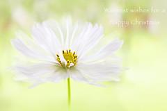 Winter White (Jacky Parker Photography) Tags: flower cosmos whiteflower floatypetals floralart freshness fragility beautyinnature flowerphotography summerflowering winterwhite horizontalformat selectivefocus outdoors nopeople nikond750 uk
