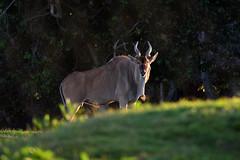 Huge eland antelope (supersky77) Tags: entebbe zoo uganda africa eland antelope