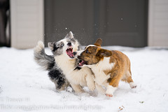 Snow Corgis 3 (Kenjis9965) Tags: sonya7iii sony70200mmf28gm sel70200gm sony a7iii a7 iii 70200 gm 70200mm g master cardigan welsh corgi winter snow playing having fun running ravi luna adorable sweet doggo doge pupper corgo stumper stumps