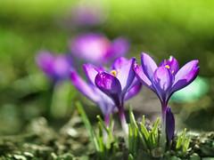 Crocus (Łukasz Rawa) Tags: crocus flowers flower flowerscolors grass nature naturephotography macro micro43 march closeup helios plants poland outdoor outside depthoffield bokeh art garden olympus