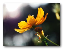 Evening time. (natureflower photography) Tags: light evening cosmos yellow bokeh macro shadow