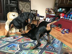 Dobermann Pinschers Gabbana and Saxon - Saxon Acting The Eejit (firehouse.ie) Tags: perro hund chien dogs playtime playing play k9 animals dog canine dobeys dobermans doberman dobermanns dobermann pinscher pinschers dobey dobies dobie dobes dobe