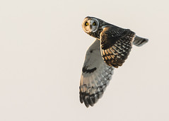 Short-eared Owl Flyby (Thomas Muir) Tags: asioflammeus raptor hunting flying woodcounty ohio midwest nikon 600mm animal outdoor bird birdwatching bowlinggreen