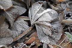 DSC_4022 pix (Frie Van Grunderbeeck) Tags: roosbeek boutersem winter frost nature leaves belgium cold