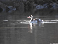 Grèbe huppé (chriscrst photo66) Tags: photography nikoncoolpixp900 wildlife nature photographie pyrénées lac eau grèbehuppé bird oiseau animal waterbird