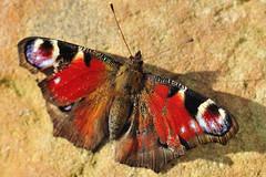Tagpfauenauge /European peacock [Nymphalis io] (uwe125) Tags: tier insekt schmetterling animal insect butterfly kleiner small blüte nektar nectar lavender blossom tagpfauenauge