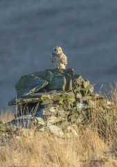 Watching You.! (nondesigner59) Tags: asioflammeus shortearedowl drystonewall nature hunter wildlife bird owl copyrightmmee eos7dmkii nondesigner nd59