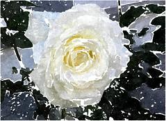 Herr Jesu, dein freundliches Angesicht scheine (amras_de) Tags: rose rosen ruža rosa ruže rozo roos arrosa ruusut rós rózsa rože rozes rozen roser róza trandafir vrtnica rossläktet gül blüte blume flor cvijet kvet blomst flower floro õis lore kukka fleur bláth virág blóm fiore flos žiedas zieds bloem blome kwiat floare ciuri flouer cvet blomma çiçek zeichnung dibuix kresba tegning drawing desegnajo dibujo piirustus dessin crtež rajz teikning disegno adumbratio zimejums tekening tegnekunst rysunek desenho desen risba teckning çizim