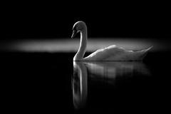 'Sleepwalk' (Jonathan Casey) Tags: swan black white norfolk background nikon d850 400mm f28 vr