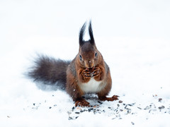 Squirrel (Marc Rauw.) Tags: snow eerbeek forest gelderland netherlands olympusomdem5markii olympus omd em5 mzuiko40150mmpro mzuiko 40150mm nature fauna squirrel rodent animal microfourthirds m43 μ43 eekhoorn winter white