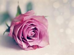 With all my love (Through Serena's Lens) Tags: smileonsaturday roseisarose stilllife rose flower flora tabletop bokeh dof closeup canoneos6dmarkii