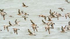 Flying-godwits (Alex Ignatov) Tags: auckland newzealand bird birdwatching godwit nature wildlife aucklandregion nz