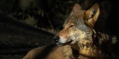 eurasischer Wolf (Matthes S.) Tags: biotopwildparkanholterschweiz canislupuslupus eurasianwolf fantasticnature hundeartige kamera natur raubtier sonydscrx10m3 säugetier tier zoo eurasischerwolf greaterphotographers