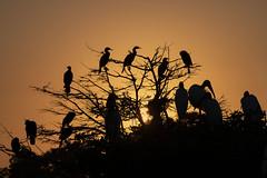 Wakodahatchee Wetlands Explored March 17, 2019 (wrpryde) Tags: florida bird woodstork nikon nature tamron150600mm blueheron