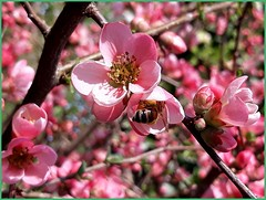 Look In the Pink Flower!  It's Spring (collage42 -Pia-Vittoria//) Tags: ape bee flower fiore pink rosa bug