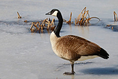 Goose on Ice (Jan Nagalski (off, surgery)) Tags: bird goose canadagoose ice icy slippery frozen marsh reeds cattails pond nature wildlife march latewinter winter lakestclair metropark southeastmichigan michigan jannagalski jannagal