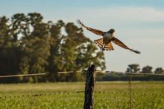 ¡A volar, chimango! (Ce Rey) Tags: ave bird chimango campo fence alambrado cielo sky poste milvagochimango alas wings animal