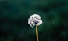 Dandelion (Berkankucukgul) Tags: dandelion flower isolated nature noperson