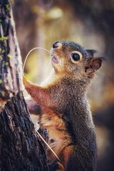 nature's toothpick! (matty whyte) Tags: redsquirrel squirrel animal wildlife pnw nature
