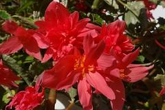 Begonie (Gartenzauber) Tags: floralfantasy