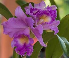 Petal Pinks (ACEZandEIGHTZ) Tags: orchid nikon d3200 blc hybrid closeup pink bokeh coth coth5 sunrays5