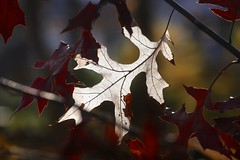 Oak leaf - withering away (-SOLO--) Tags: 2018 autumnleaves oak withering sunlight leaf bokeh 2dwf