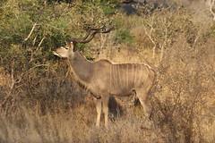 Kudu (Rckr88) Tags: kudu kudus krugernationalpark southafrica kruger national park south africa antelope animals animal horn horns nature outdoors wildlife