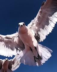 Gulls iPhone 8 (ericanderson7) Tags: gull