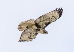 Red Tailed Hawk in Flight (SCSQ4) Tags: bird california flying hawk normandaleparkrecreationcenter park raptor redtailedhawk torrance