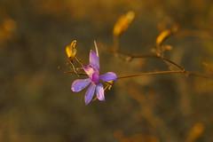 Последние цветы осени / Last flowers of autumn (Владимир-61) Tags: осень октябрь природа цветы роща цветение флора autumn october nature flower grove bloom flora